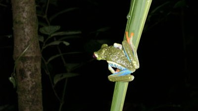 DID YOU KNOW THIS FROG IS SINGING AFTER THE RAIN?